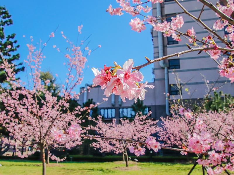 友好之櫻(Sakura of friendship)